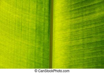 hoja verde, palma, textura, venas