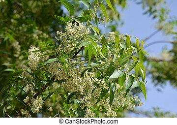 hojas, azadirachta, o, indica, medicinal, flores, ayurvedic, neem