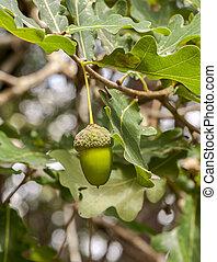 hojas, común, robur, fruits, quercus, roble