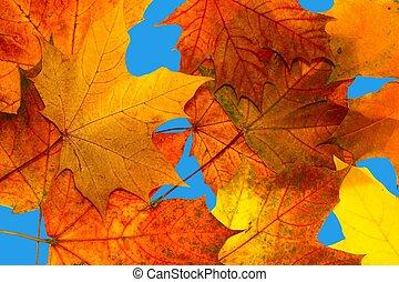 Hojas de arce de otoño