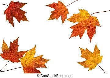 Hojas de arce de otoño rotadas en blanco