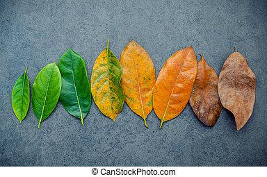 Hojas de diferentes edades de Jack Fruit Tree sobre fondo de piedra oscura. Envejecimiento y concepto estacional hojas coloridas con espacio plano y copiado.