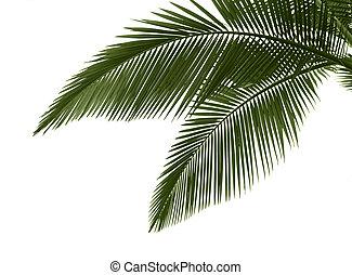 Hojas de palma en blanco