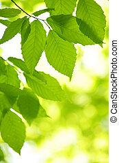 Hojas de primavera verde