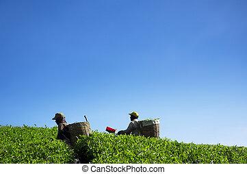 Hojas de té de cosecha