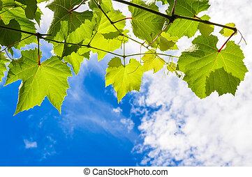 Hojas de uva soleada en una rama contra el cielo azul y nublado