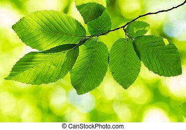 hojas, hornbeam