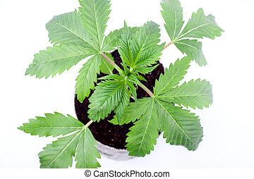 hojas, medicinal, planta de cannabis, plano de fondo, tierra, marijuana, crecer, blanco, verde, de barro, interior, olla, joven