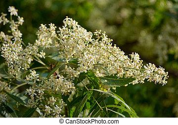 hojas, o, azadirachta, medicinal, indica, flores, neem, ayurvedic