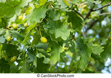 hojas verdes, otoño, roble, bellotas