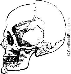 Hombre blanco de cráneo, grabado vintage.