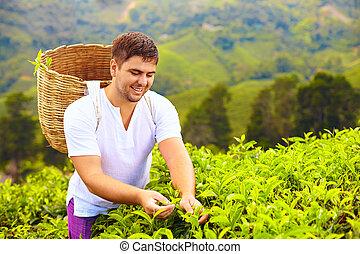 Hombre cosechando hojas de té en la plantación