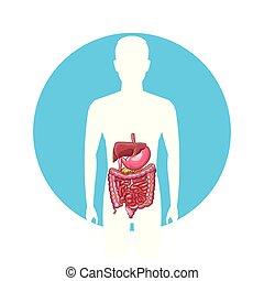 hombre, sistema digestivo
