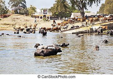 Hora de volver a casa para búfalos y ganado tras salsa