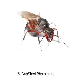 Hormiga alada roja aislada en blanco