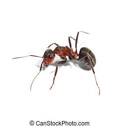 Hormiga Roja aislada en blanco