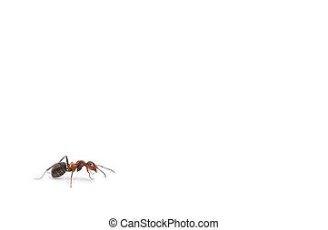 Hormiga roja aislada