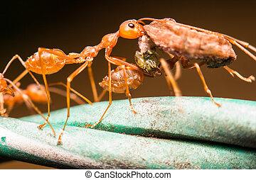 hormiga, verde, primer plano, hoja
