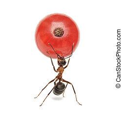 Hormigas con curvas rojas, aisladas