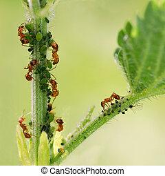 Hormigas y áfidos