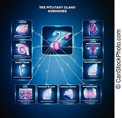 Hormonas de glándulas pituitarias