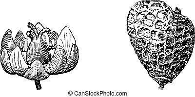 Huélero eurasiano o Rhus cotinus, grabado añejo