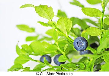 Huckleberry no cultivado