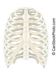 Huesos de esqueleto humano