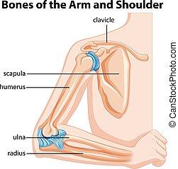 Huesos del brazo y del hombro