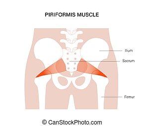 huesos, músculo, pelvis