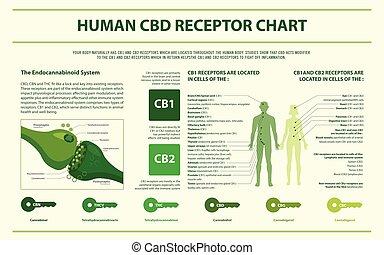 humano, infographic, gráfico, horizontal, cbd, receptor