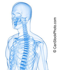 humano, radiografía, esqueleto
