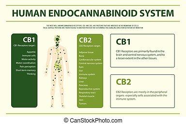 humano, sistema, infographic, endocannabinoid, horizontal