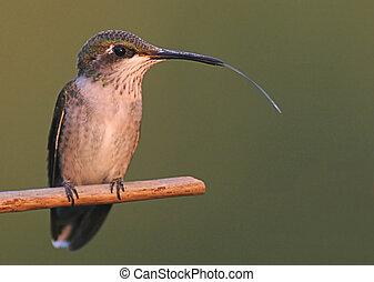 Hummingbird en la lluvia