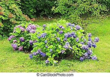 hydrangea, garden., hydrangeas, arbustos, púrpura, verano, florecer, florecer