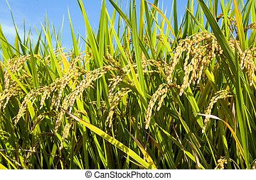 ii, campo, arroz