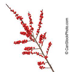 ilex, verticillata, winterberry, o