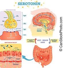 illustration., intestino, cns., vector, rotulado, cerebro, serototin, eje, diagrama