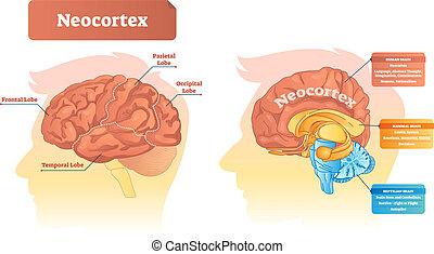 illustration., neocortex, vector, rotulado, functions., diagrama, ubicación
