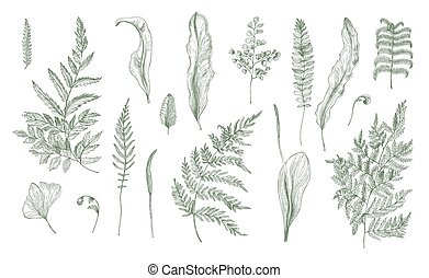 illustration., vector, helecho, collection., realista, hojas, fronda, brotes, negro, mano, dibujado, blanco, set., tallos