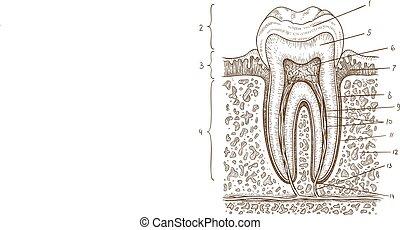 Ilustración de diagrama dental