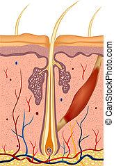 Ilustración de la estructura del cabello humano. Vector