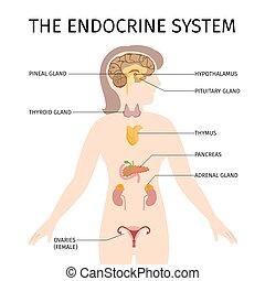 Ilustración de vectores coloridos del sistema endocrino femenino