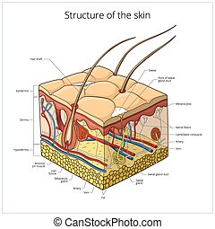 Ilustración de vectores de piel
