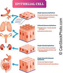 Ilustración de vectores epiteliales. Ubicación médica y diagrama significativo.