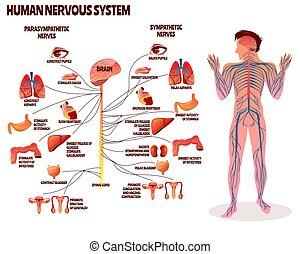 Ilustración de vectores nerviosos humanos
