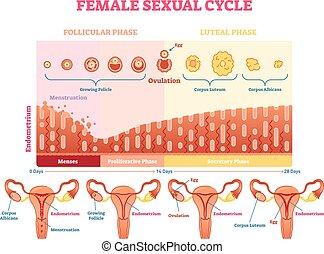Ilustración de vectores sexuales femeninos diagrama gráfico de ilustración con menstruación y gráfico de ovulación y útero.