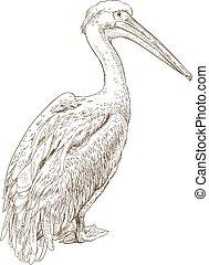 ilustración, grabado, pelícano