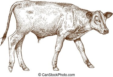 ilustración, grabado, vaquita