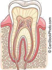 Ilustración médica de sección de dientes